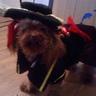Photo #4 - Dempsey - Poodle Pic 2