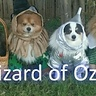 Photo #4 - PomWizard of oz