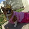 Photo #1 - Scouting for men folk portly Princess corgi