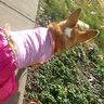 Photo #4 - More scouting for men folk portly Princess corgi