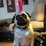 Photo #1 - Punk Rock Pug