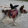 Photo #4 - Roadkill Zombie dog full costume seen from right side
