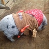Photo #1 - Leroy Allen Brown - toughest pig in town