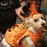 Photo #4 - Dog in pumkin