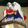 Photo #1 - Super Parrot and Wonder Bird Looking Out for Trouble