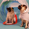 Photo #1 - Every pug's gone surfin', surfin' USA!