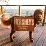 Photo #1 - Hershey's Milk Chocolate Labradoodle