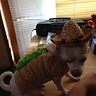 Photo #1 - Taco chihuahua