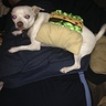 Photo #6 - Taco chihuahua