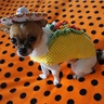 Photo #3 - Kuri the Taco Dog