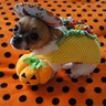 Photo #4 - Kuri the Taco Dog