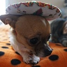 Photo #5 - Kuri the Taco Dog