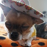 Photo #6 - Sleepy Taco Dog