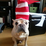Photo #5 - Photo #4: Hugo the Frenchi in the Hat