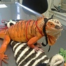 Photo #4 - iguana tiger