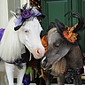 Photo #2 - Tiny Horses in Halloween costumes