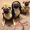 Photo #1 - Frank, Harley and Armani as 'the walking pugs'