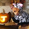 Photo #1 - Zebra Chihuahua