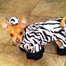 Photo #2 - Zebra Chihuahua