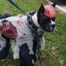 Photo #1 - Zombie Boxer Presley