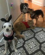 Hugh Hefner and his Playboy Bunnies Pets Homemade Costume