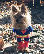 Superman Dog Costume Idea