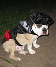 Captain Jack Sparrow Costume Idea for Dogs