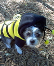 Bee costume for dog