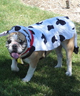 Homemade Cow Costume